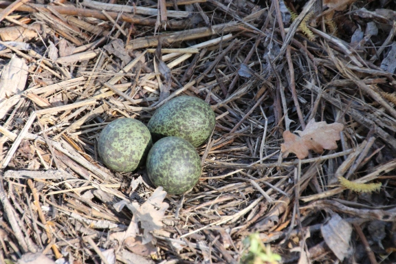 Plover eggs on the ground are vulrable.