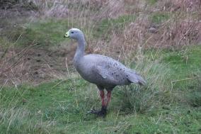 Cape Barren Geese common on Phillip Island