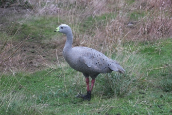 Cape Barren Geese common on Phillip Island