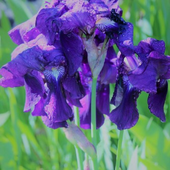 Purple patch...