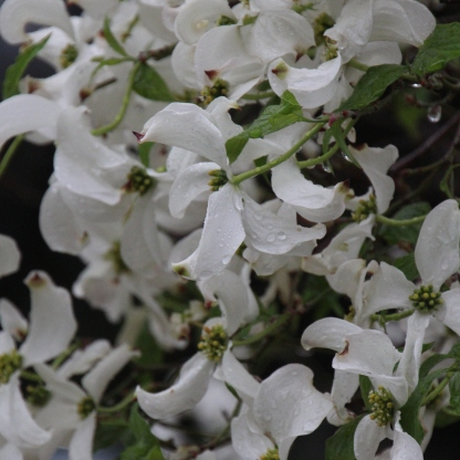 Dogwood flowers for first time