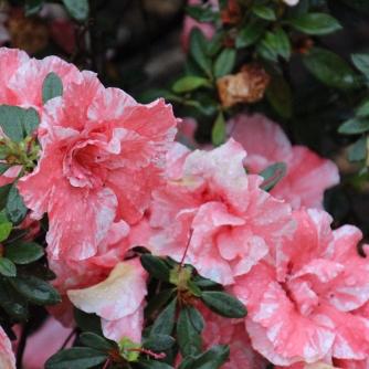 Pretty in pink...azaleas.